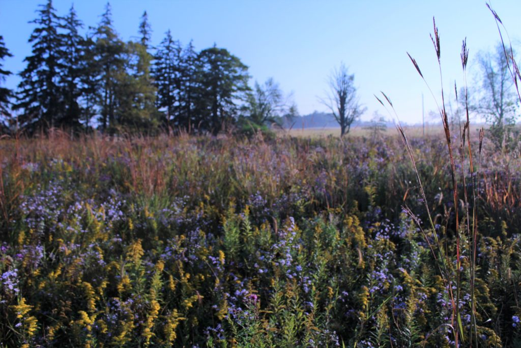 Big bluestem over meadow