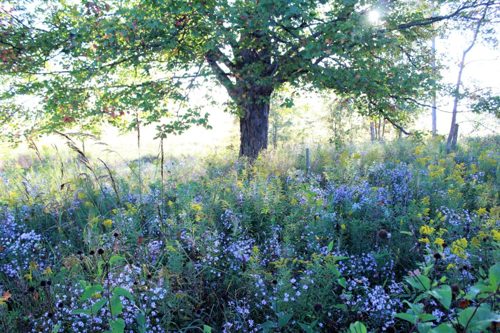 Meadow under maple