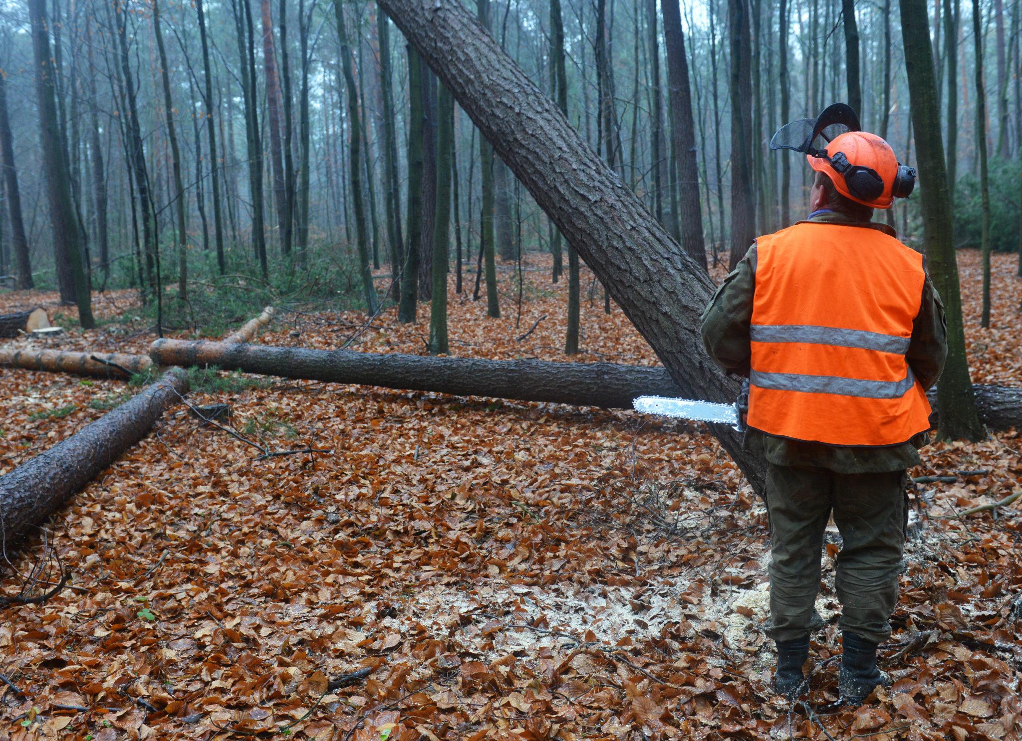 Forestry worker - lumberjack cutting tree