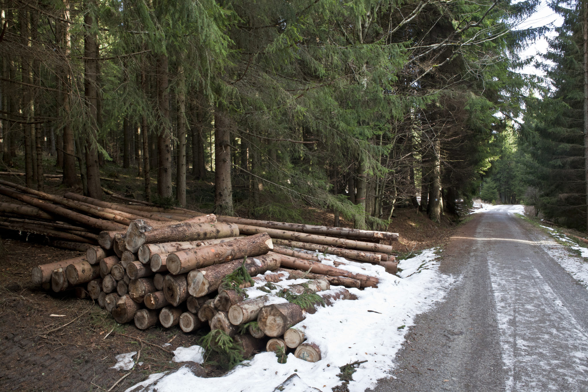 Cut down trees, lumber, in forest in winter in Czech republic