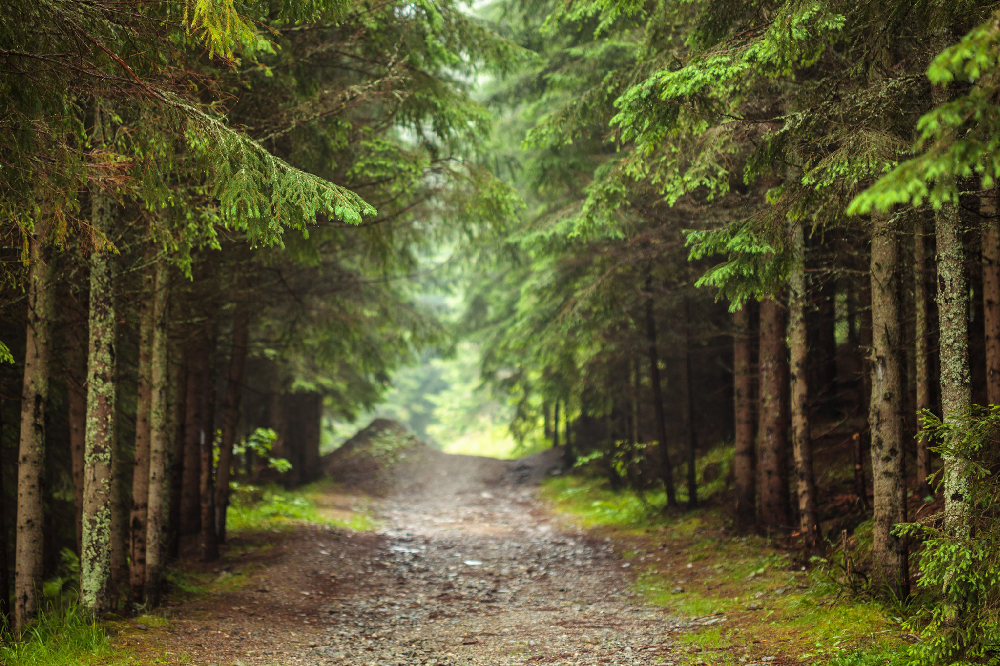 Dirt road through pine forest with selective focus