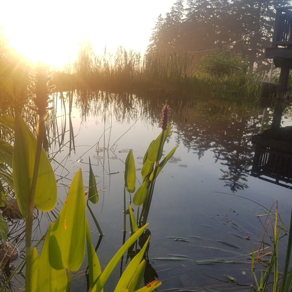 Sunrise over pickerel weed