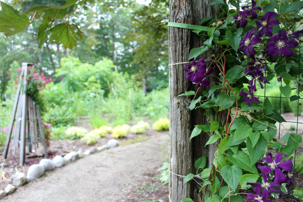 Clematis along path