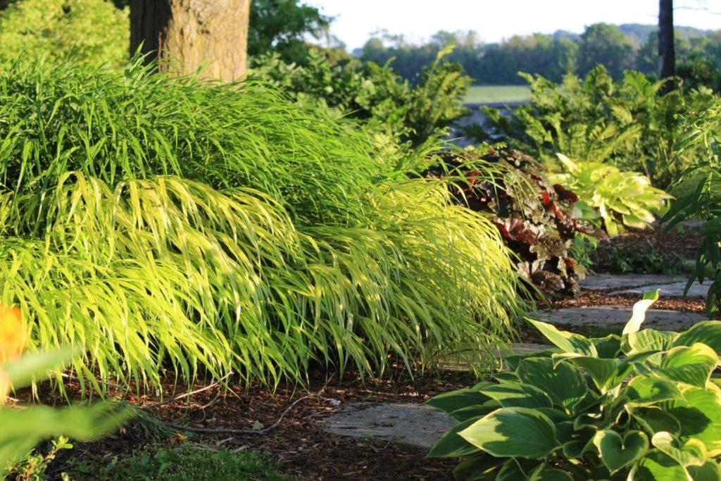 Golden Japanese forest grass in morning light