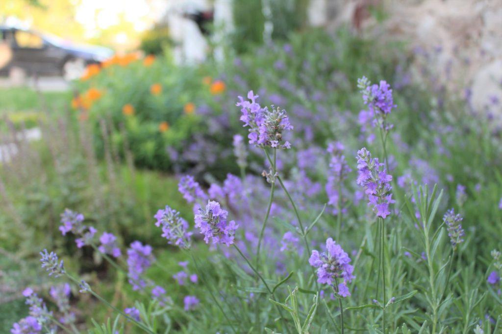 Lavender in garden (1)