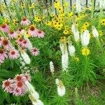 Coneflower and white blazing star